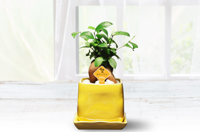 縁起の良い観葉植物電報「カジュマルイエローメッセージ」