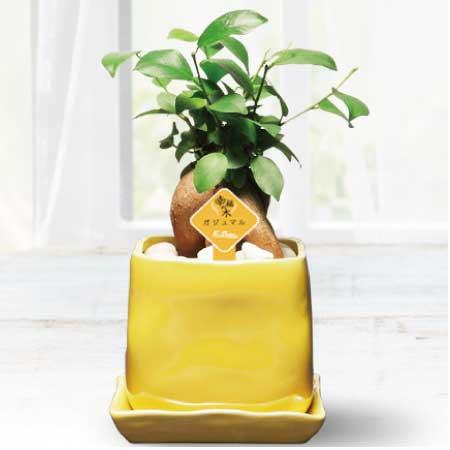 凹凸のあるハンドメイド風のイエロー鉢にガジュマルを鉢植えした電報の「ガジュマルイエローメッセージ」